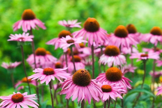 10 Razones equinácea debe crecer en todos los jardines
