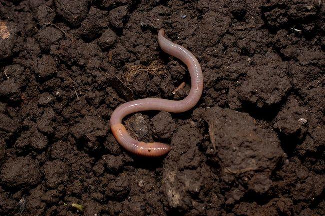 3 Razones que necesitan las lombrices de tierra en su jardín y cómo atraerlos