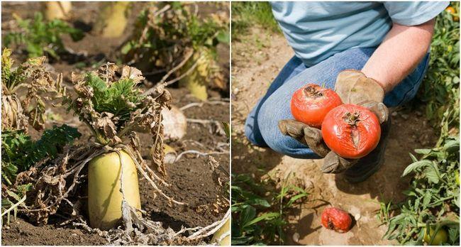 ¿Por qué mis cultivo de hortalizas? 10 errores que están haciendo en el huerto